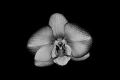 White silver orchid flower on black background Royalty Free Stock Images