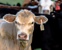 White Simmental heifer with white ear tag Royalty Free Stock Photo