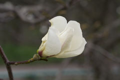 White single flower of magnolia. Royalty Free Stock Images