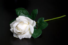 White single rose Stock Image