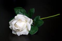 White single rose Stock Image