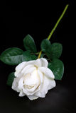 White single rose Stock Photography
