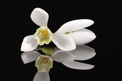 White single spring flower of snowdrop isolated on black backgroUND. Mirror reflection Stock Images