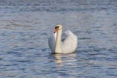 White single swan in lake Royalty Free Stock Photos