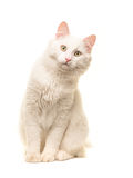 White sitting turkish angora cat sitting and leaning forward to look in the camera Royalty Free Stock Images