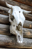 White skeleton of a bull skull Royalty Free Stock Image