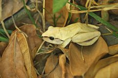 White skin tree frog. Is siting on the ground of forest Royalty Free Stock Image