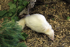 White Skunk Stock Images