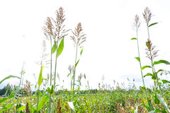 White sky Sorghum bicolor,Sorghum bicolor.  Stock Images
