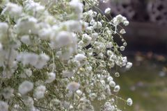 White sky star-Gypsophila paniculata L. It is a perennial herb of the genus Dianthus and sturdy. Stems single, erect, many branched. Leaf blade lanceolate or stock photo