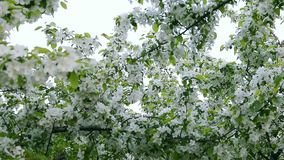 White sky and white flowers of blossom apple-tree branches. Camera go through green leaves. Apple tree above path way springtime. White flowers green stock video