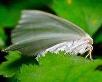 White Slant-line moth (Tetracis cachexiata) Stock Image