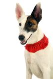 White sleek-haired fox-terrier on white Royalty Free Stock Photography