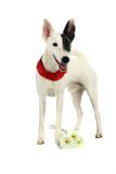 White sleek-haired fox-terrier on white Stock Image