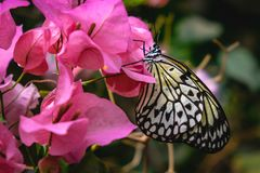 Yellow butterfly sitting on pink flowers stock photos