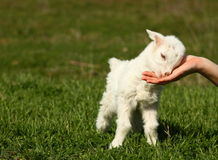 Baby goat. A white small baby goat caressing on a womans hand outdoor on a green  grass Stock Image