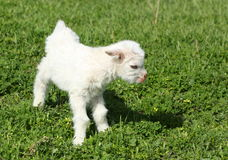 Baby goat royalty free stock image