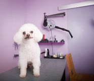 White small breed poodle grooming. White small breed poodle in grooming saloon, dog care, pet salon Royalty Free Stock Photo