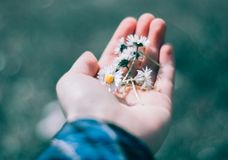 White small chamomiles in hand royalty free stock photo