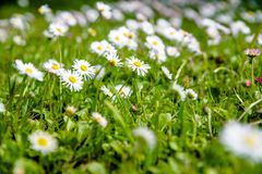 White small daisies Royalty Free Stock Image