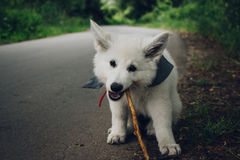 White small Dog Stock Image