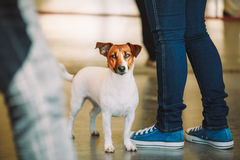 White small dog jack russell terrier Stock Photo