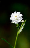 White small flower on a dark green background. Vertical photos. White small flower on a dark green background Royalty Free Stock Images