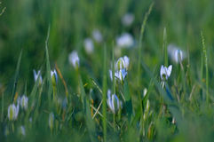 White small flowers in the grass. Background. Beautiful backgrou. Nd with blur. Russia Stock Photo