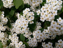White small flowers on a green bush close-up Royalty Free Stock Photos