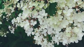 White small flowers on green tree. closeup image royalty free stock images