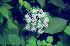 White small flowers in inflorescence. Summer nature. stock image