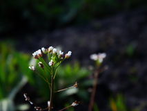 White small flowers. Nature season spring bloom Royalty Free Stock Photo