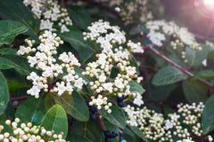 White small flowers of viburnum laurel Viburnum tinus. Mediterranean tree with small white or pink flowers and black berries stock image