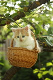 White small fluffy kitten in the basket Royalty Free Stock Photo