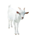 White small goat, isolated. On white background stock photo