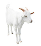 White small goat, isolated on white background Royalty Free Stock Images