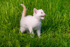 White small kitten opened his mouth showing teeth Stock Photos