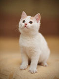 White Small kitten Royalty Free Stock Image