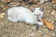 White small kitty. Thailand Asia Royalty Free Stock Photography