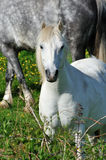 White small pony on a sunny day Royalty Free Stock Photos