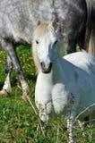 White small pony on a sunny day Royalty Free Stock Photos
