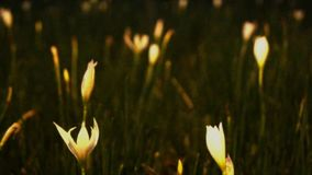 White small tulip field, flower stock footage