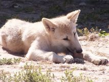 White small wolf. In a zoo resting royalty free stock photos