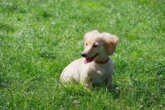 White  smiling Dachshund puppy sitting on the green grass - creamy color Stock Images