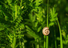White snail with brown stripes sitting on green lush grass. Soft background Stock Photos