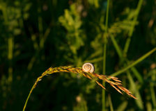 White snail with brown stripes sitting on green lush grass. Soft background Royalty Free Stock Image