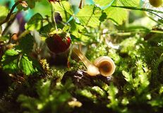 White Snail Near Red Fruit Royalty Free Stock Photos