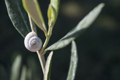 White snail shell on a sage plant in the herb garden Stock Photography