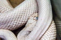 White snake with blue eyes. Photo of dangerous white snake with blue eyes royalty free stock photo