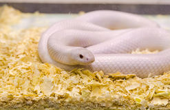 White snake. On sawdust in glass stock images
